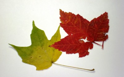 Tale of Two Leaves
