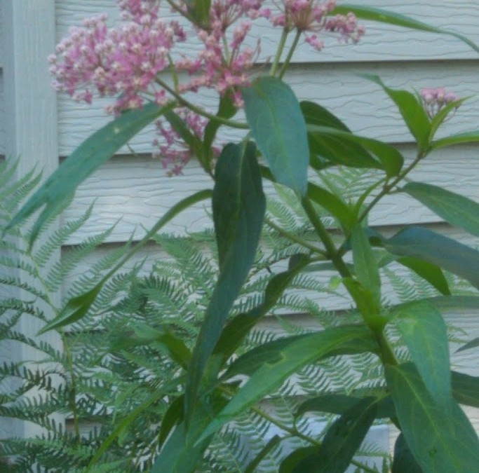 From Milkweed to Monarch